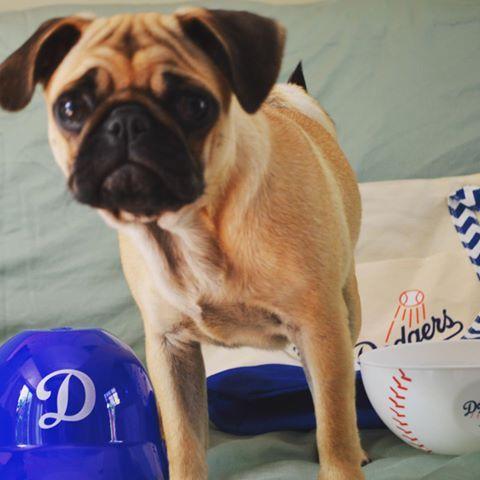 It S Time For Dog Gerr Baseball Pugs Pugsofinstagram