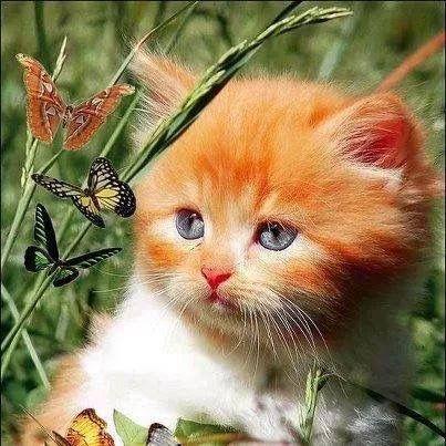 Orange cat with butterflies.