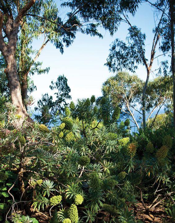 Eucalyptus Trees And Several Varieties Of Echium