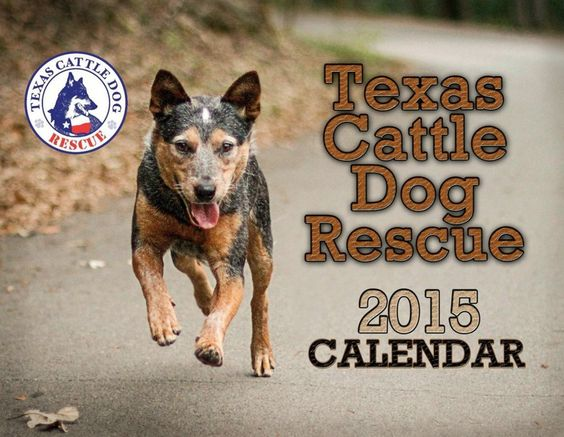 Texas Cattle Dog Rescue Heeler Rescue And Adoption Cattle Dog Rescue Dogs Cattle