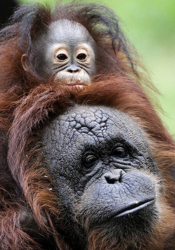 Baby Orangutan Orphan Adopted By Kind-Hearted Momma Orangutan