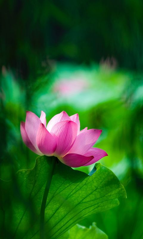 Lotus Macro 4k Free Wallpaper Hd Lotus Flower Pictures Flower Wallpaper Beautiful Flowers Beautiful lotus wallpaper hd