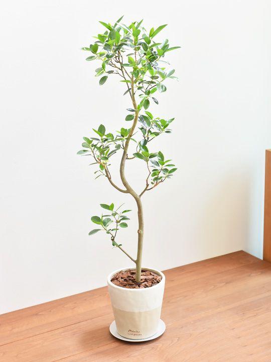 フランス ゴム の 木 育て 方