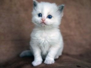 Ragdoll Kitten Blue Bicolor Female 4 weeks old http