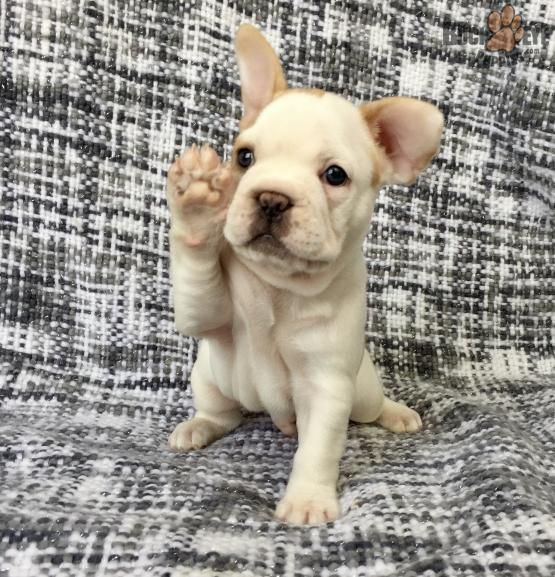 Brock French Bulldog Puppy For Sale In Millersburg Oh French