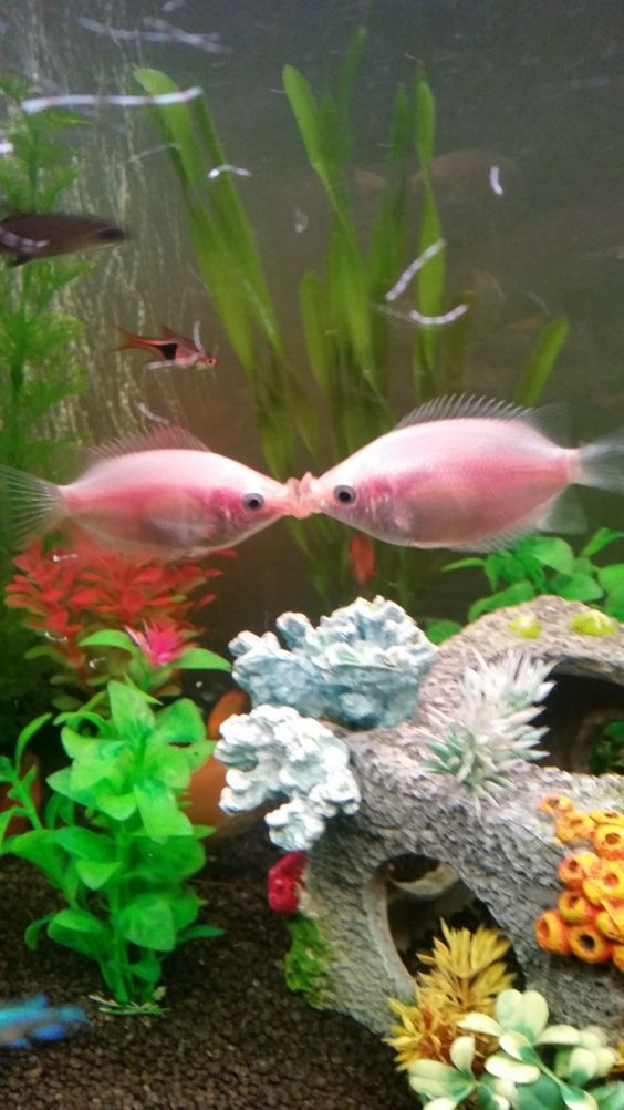 Kissing Gouramis Fresh Water Fish Tank Fish Beautiful Fish