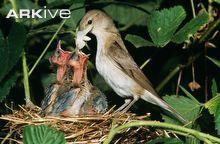 Garden warbler feeding chicks