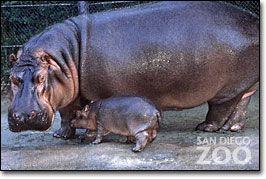 my life goal- hug a hippo