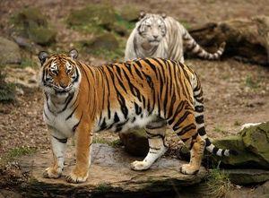 Nashville Zoo - Nashville Zoo 2011 Photo of the Week: Bengal Tiger