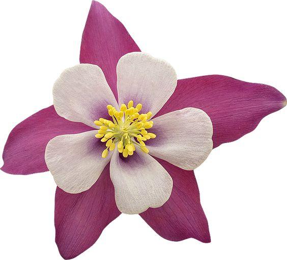 fleurs ancolie rose et blanche wwwphotogriffoncom - Rose Et Blanche