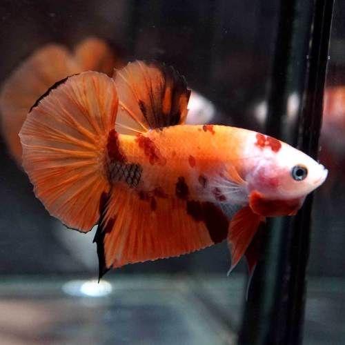 Live Betta Fish Fancy Nemo Koi Halfmoon Plakat Hmpk Male 174 Betta Fish Betta Fish
