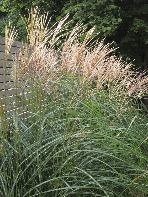 miscanthus sinensis 39 gracillimus 39 brings height and autumn interest into a space grass. Black Bedroom Furniture Sets. Home Design Ideas