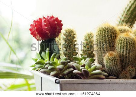Cactus in pot.Gymnocalycium mihanovichii (red cactus),Anacampseros (cactus in front of red cactus),Mammillaria elongata (cactus beside red cactus) and Torch Thiste (cactus right in the picture) - stock photo