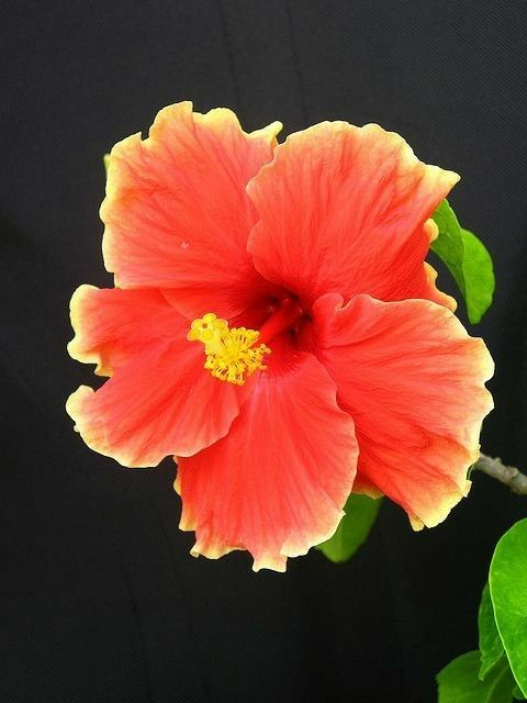 Pin By Wilfredo Rodriguez On Hibiscus Hibiscus Flowers Hibiscus Plant Beautiful Flowers
