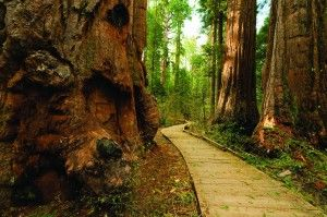 Our CA State Parks remain a wonder of the world. Check out #SamLawson's #GiantThoughts blog to see why Calaveras Big Trees is a sublime place to visit!  #ThisLandIsYourLand