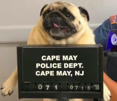 A Pug Was Arrested In New Jersey And Just Look At His Pugshot