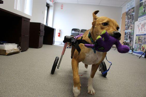 Walkin Wheels Medium Dog Wheelchair Dog Wheelchair Dogs