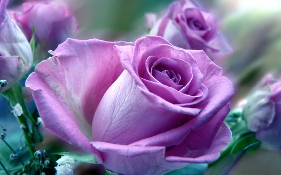 beautiful-purple-rose-macro-wallpaper-free.jpg (JPEG pilt, 1920 × 1200 pikslit)