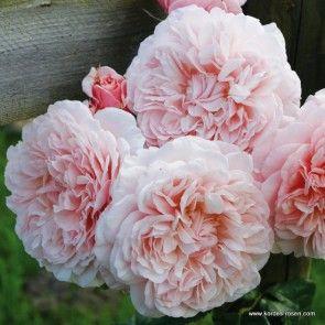 Rose de Tolbiac ®                                                                                                                                                                                 More