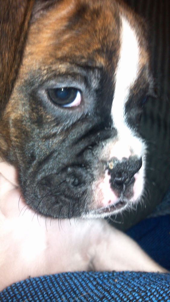 Boxer puppy close up