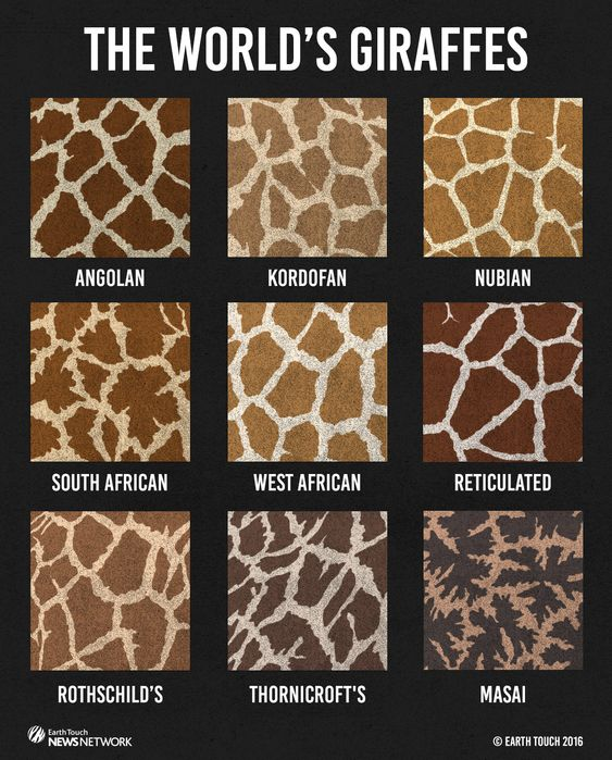 There are nine recognised subspecies of giraffe, each with distinguishable coat markings.