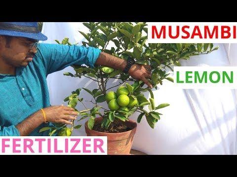 Best Organic Fertilizer For Lemon Plant Youtube Lemon Plant Organic Liquid Fertilizer How To Grow Lemon