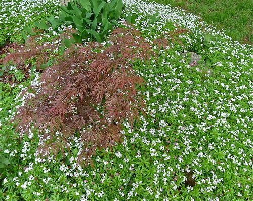 Best Ground Cover Plants Instead Of Lawn Gardening