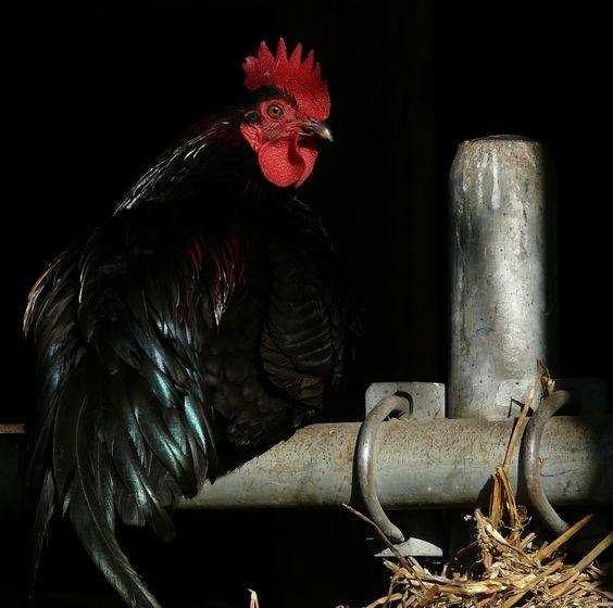 Rooster - Haan, made by © Alie Hoogenboezem-de Vries: