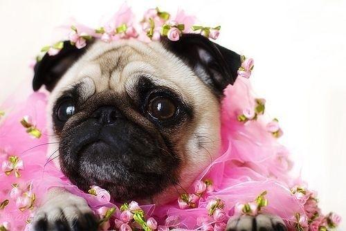 Here Lizz!: Pink Flower, Adorable Animals,  Pug-Dog, Adorable Pugs, Adorabletastic Animals