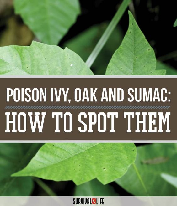 identifying poison ivy, oak and sumac