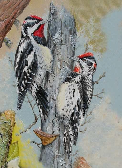Red-naped Sapsucker - Sphyrapicus nuchalis