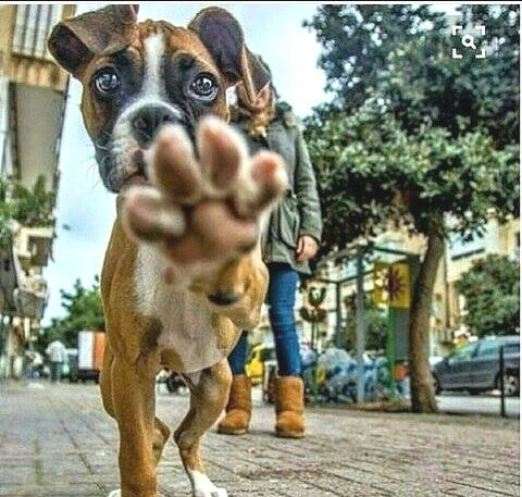 Dog Training And Socialization Cute Animals Boxer Dogs Boxer Puppies