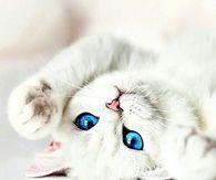 White Blue Eyed Cat