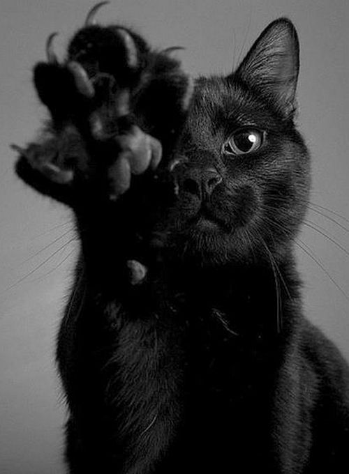 """••••(KO) Claw of death. Extremely effective on rodents. Also on Mommy if his luncheon isn't served immediately. (Cats have no concept of the word, """"Wait"""". Not in their vocabulary). Step lively there human. Your hide is at risk.:"""