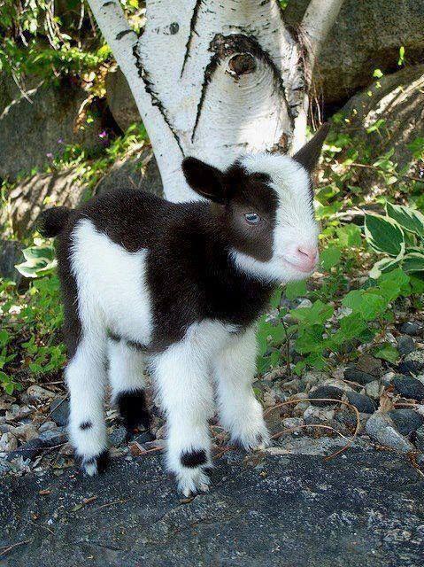 Pygmy goat kid | Funny Animal Pics and Memes | Pinterest ...