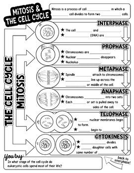 21++ Phases of the cell cycle worksheet Live