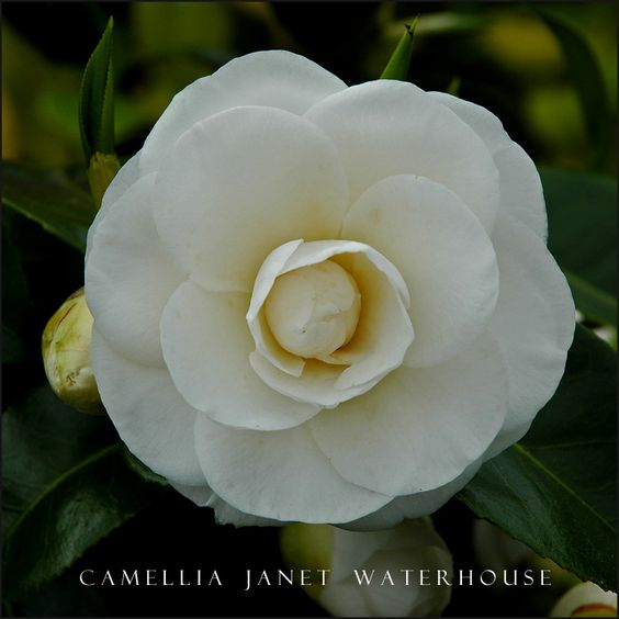 Camellia Janet Waterhouse photo - David Barrett photos at pbase.com