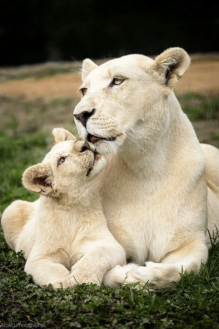 ~~White Lion mother and cub by ScottD Photography~~