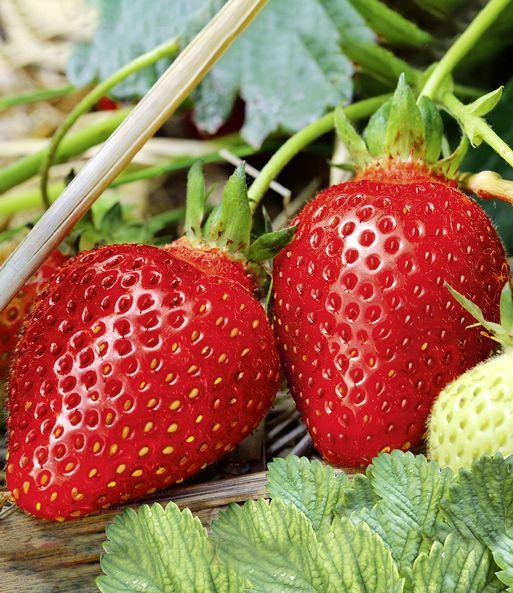 Immertragende Erdbeere Albion 1a Qualitat Baldur Garten Erdbeeren Erdbeerpflanzen Pflanzen
