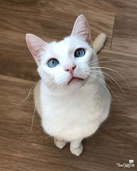 Cat Lovers World Catsloversworld Instagram Posts Videos Stories On Poshinsta Com Cat With Blue Eyes Crazy Cats Cats