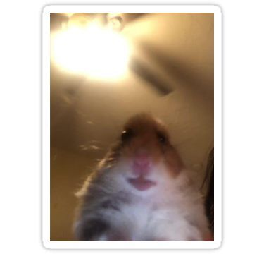 Hamster Staring At Phone Sticker Funny Hamsters Hamster Cute Hamsters