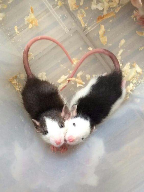 Rat Fan Club                                                                                                                                                                                 Mehr