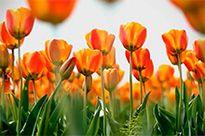 Tulipomanía, uno de los primeros fenómenos especulativos de masas de los que se tiene noticia.