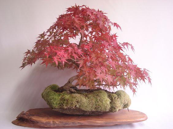 石付盆栽 bonsai on the rock