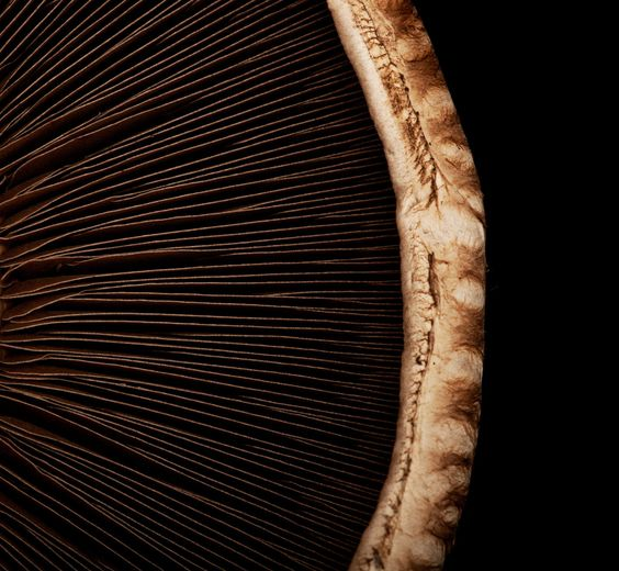 Macro of a portobello mushroom on black.