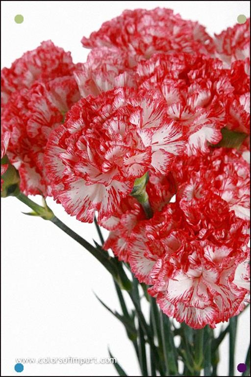 Dianthus Anjers Charlie Carnation Plants January Birth Flowers Anniversary Flowers