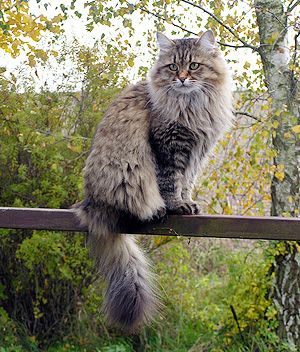 The Siberian is a large, strong cat that takes