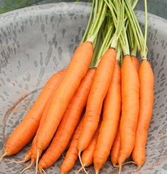 """Romance Carrots have an impressive flavor for a summer-harvested carrot. The high-yielding, blunt tipped, deep orange roots average 6-7"""" long."""