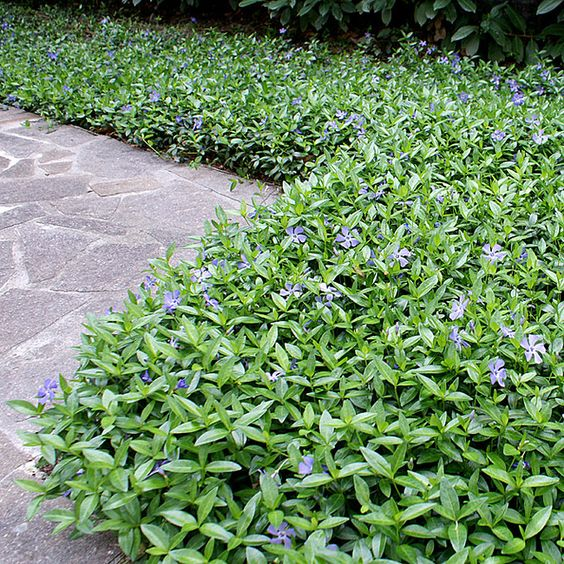 Pikkutalvio muodostaa tuuhean ikivihreän maton kukkapenkin pohjaksi.