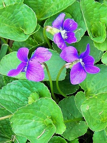 haunted by the smell of violets...they are mysterious to me